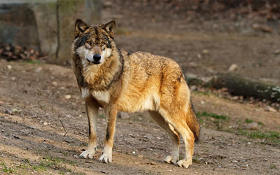 Earth Rangers Collaborates with Ontario Power Generation and the Ontario Ministry of Natural Resources to Protect the Eastern Wolf