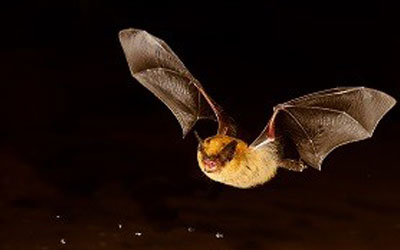 Earth Rangers Partners with TransCanada and OMNRF to Protect the Little Brown Bat