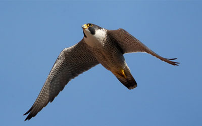 Earth Rangers and CRH Collaborate With FLAP Canada and Nature Conservancy of Canada to Help Protect Peregrine Falcons