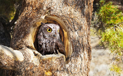 Protecting Western Screech Owls in British Columbia