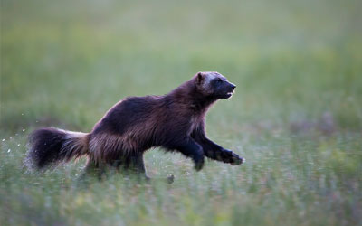 Earth Rangers Partners with Ontario Power Generation and Wildlife Conservation Society to Protect the Wolverine