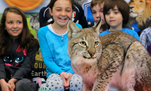 Hudson the Lynx is an Earth Rangers Animal Ambassador