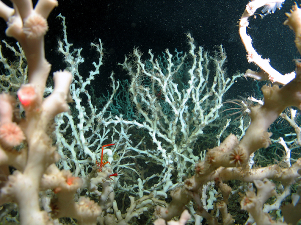 Cold-water corals and sea lilies. Photo Credit: Marum