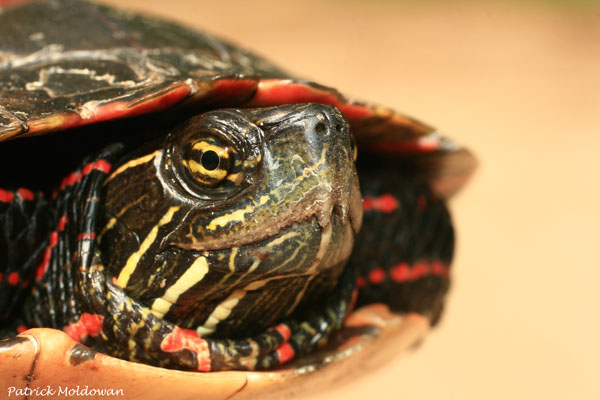 Head-profile3_Midland-Painted-Turtle_P.Moldowan