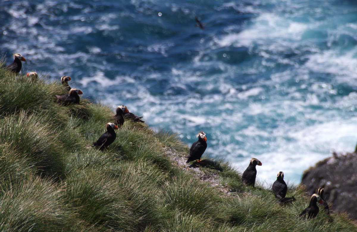 Scott Islands - Credit - Sabine Jessen - Puffins on cliff