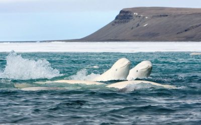 Help protect endangered belugas this Earth Month
