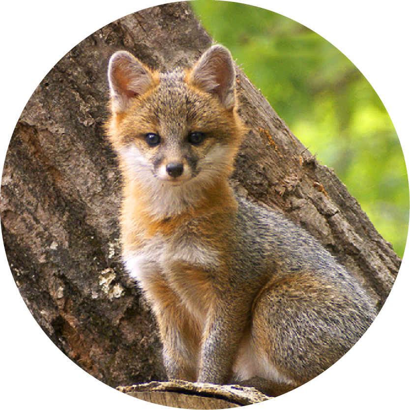 BBtW Images_Grey Fox