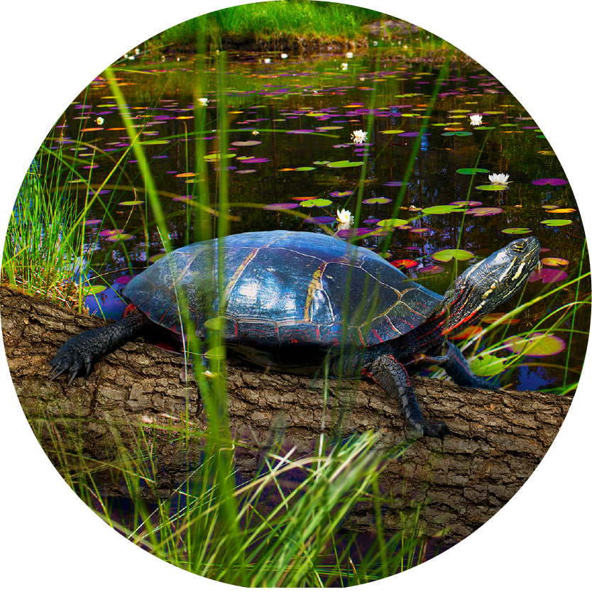 BBtW Images_Midland Painted Turtle