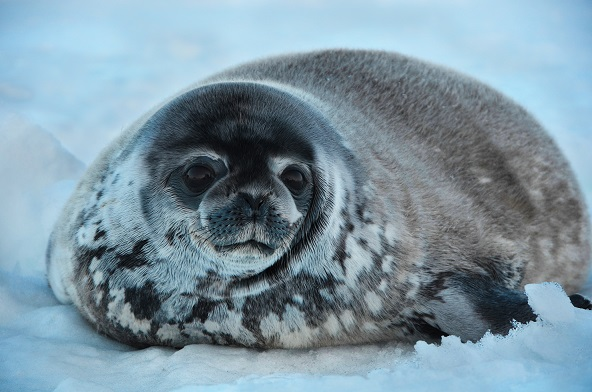 Ringed Seals on Shrinking Ice