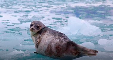 Be a Ringed Seal Rescuer with our newest Bring Back the Wild project!