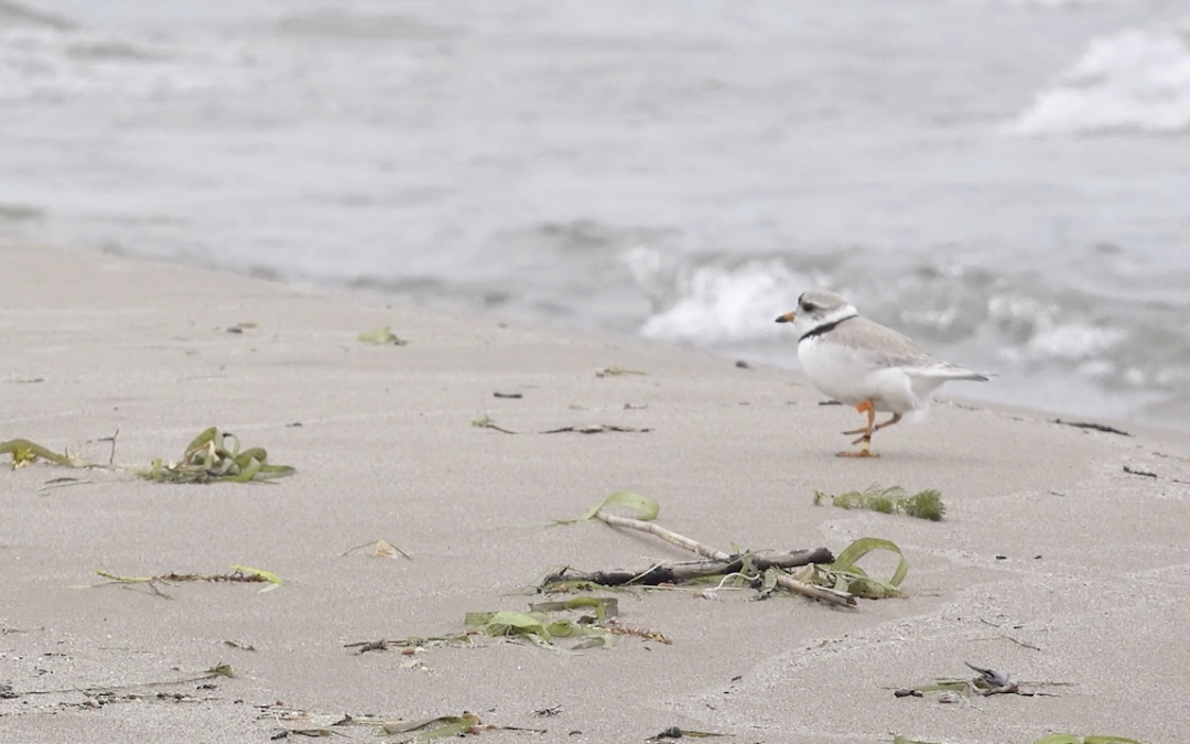 The Return of the Piping Plover