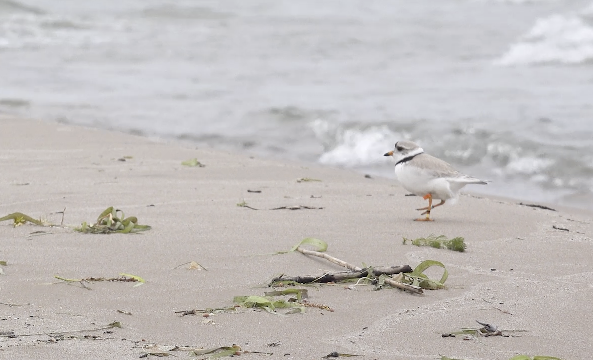 Piping Plover on the beach