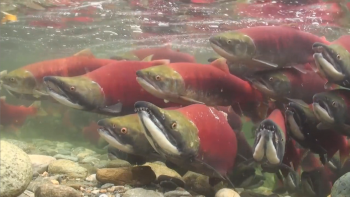 Sockeye Salmon return home to the same river they were born in to lay their eggs.