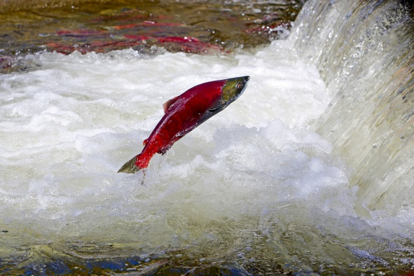 A spawning sockeye salmon attempts to jump over a waterfall on its journey home.