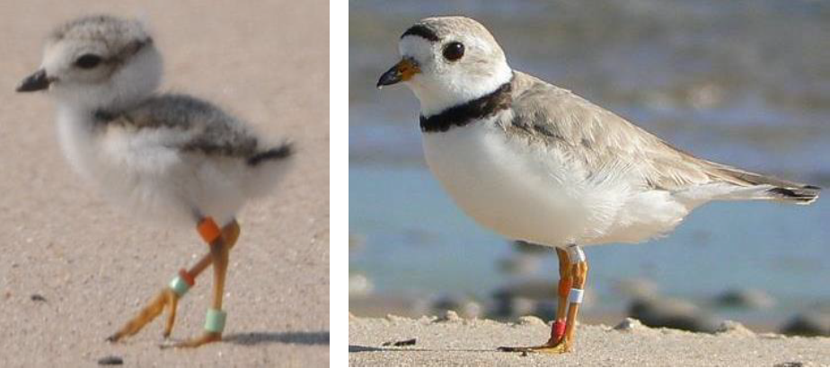 A 6-day-old plover on the left and an adult male plover on the right. The bands on their legs are put in place by scientists and used to track the plovers as they grow.