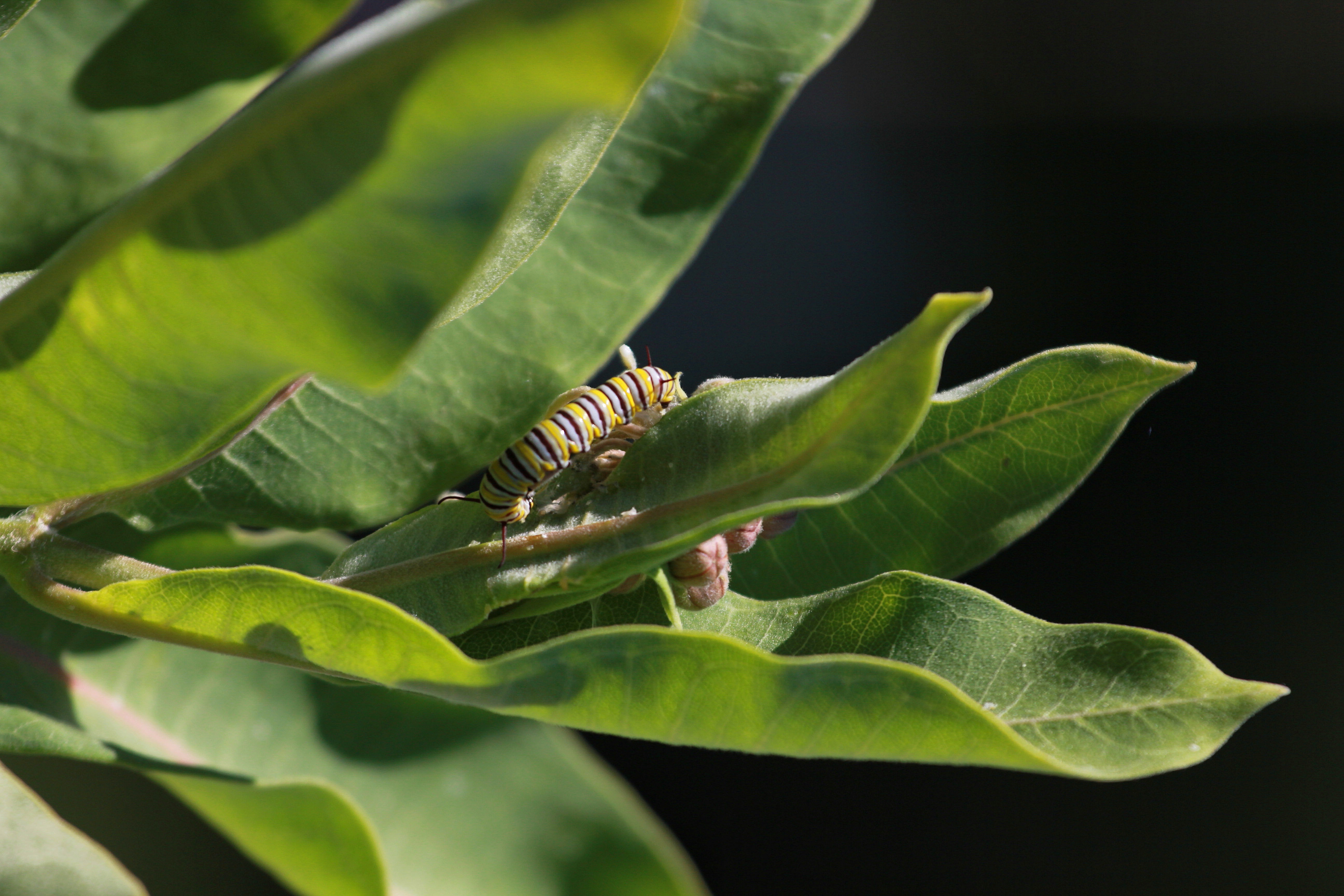 A happy monarch caterpillar munches on milkweed (Photo by NCC)
