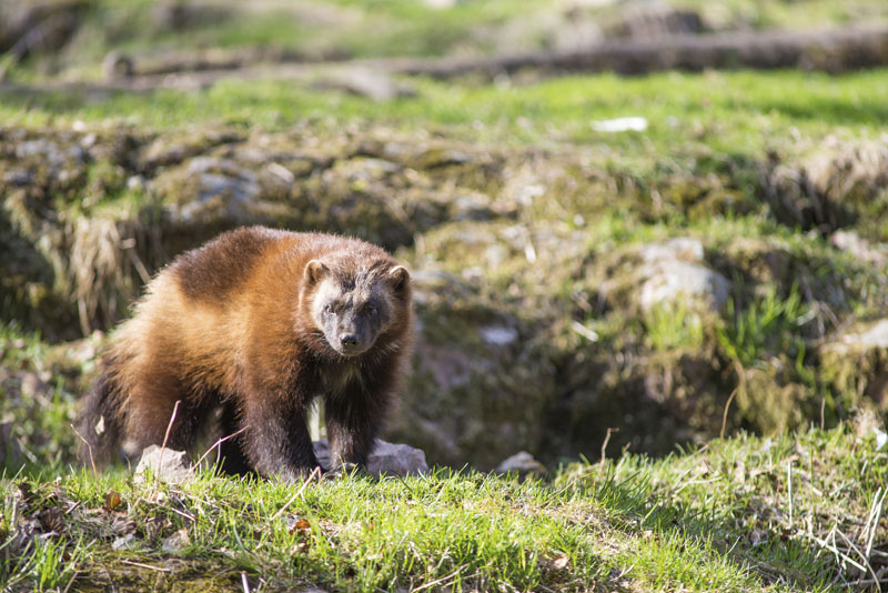Wolverines in BC: Protecting an Elusive Species