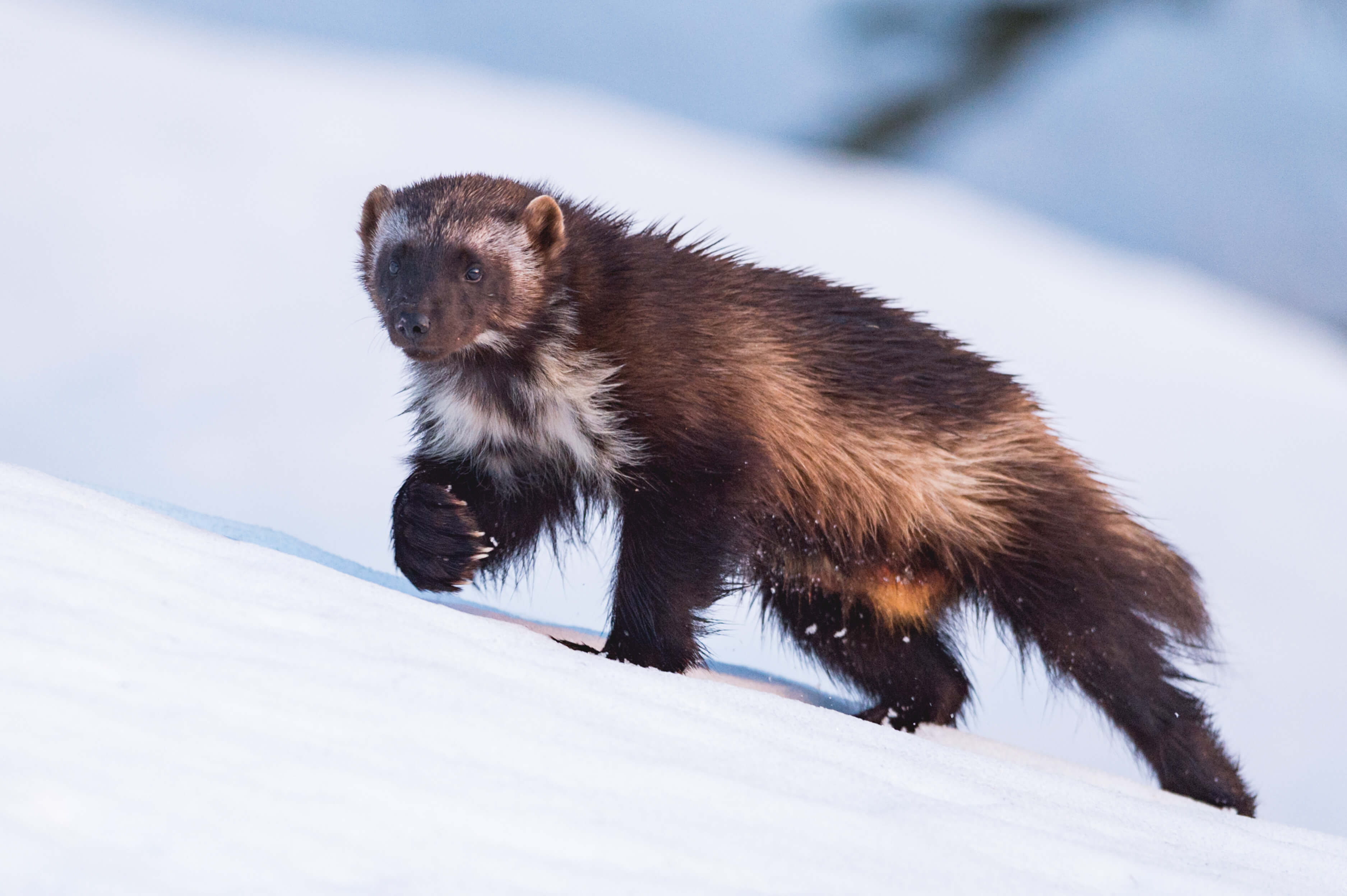 When wolverines walk, their paws spread almost double, like built-in snowshoes