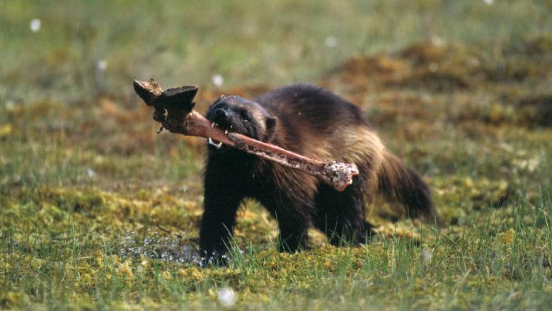 The wolverine will forage, hunt, and scavenge
