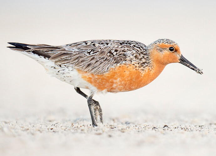 Have You Not Heard of a Red Knot?